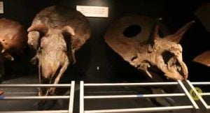 Montana Prehistory Minute:  Montana triceratops' skulls demonstrate social behavior