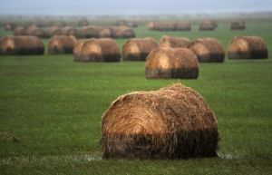 Round bales near Saco show the water level