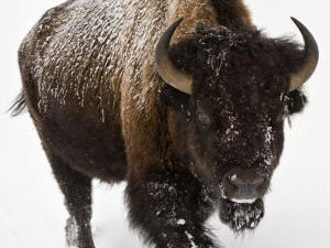Scaled-back Montana bison plan considered