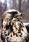 Hawk variety settles in for winter