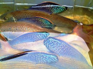 Study works to boost scarce Arctic grayling in Red Rock Lakes NWR
