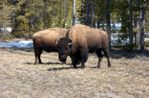 FWP boss announces scaled-back Montana bison plan