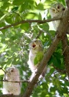 One young owlet yawns