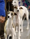 Whippets stay focused on their handlers