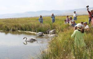 Swans released, part of wetland restoration south of Ennis