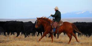 Cattle sale gallery