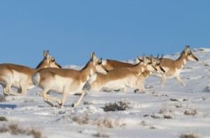In this February 2010 photo, pronghorn cross a snow covered field in Wyoming. The Federal Highway Administration recognized a project to reduce collisions between motorists and migrating wildlife