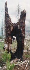 Burned stump in 2001