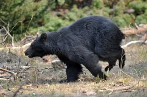 Glacier Park rangers kill black bear that frightened picnickers