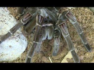 Super-sized spider