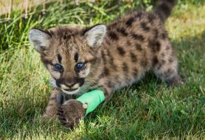 Abandoned cougar kitten going to zoo