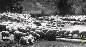Montana History Minute: Billings area rancher once held the world record for number of sheep