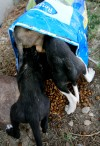 Three puppies crawl into a bag of food