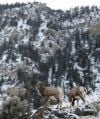 Pneumonia outbreak kills 10 bighorns in Gardiner area