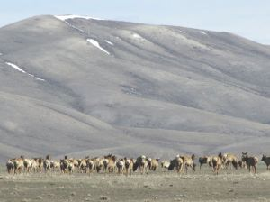 More than 250 elk killed at elk refuge