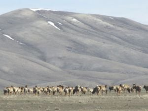 Elk could recover from chronic wasting disease, study shows