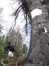 Whitebark pines ailing but don't get protections