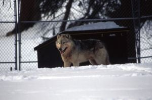 Yellowstone wolves: 20 years later