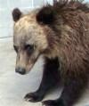 Bear Mauling Death