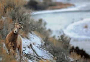 On the bighorns of a dilemma: Montana wild sheep plan draws fire