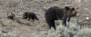 Informational paper debunks myth that bears attack menstruating women