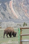 Montana sued for letting Yellowstone bison roam