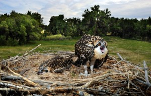 Osprey chicks studied for mercury