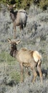 Guest opinion: Working group hammers out viable plan to separate cattle, elk