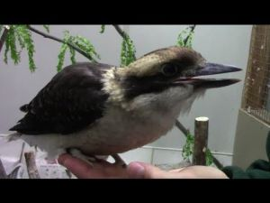 Kooky Kookaburra