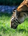 A tiger sniffs the grass