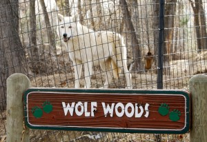 With quarantine lifted after reported bite, ZooMontana wolves back on display