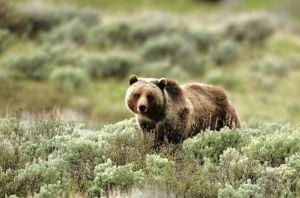 6 grizzly bear deaths expected in Wyoming elk hunting