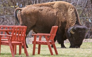 Wandering bison causing trouble in Gardiner