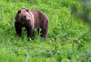 Experts report on man killed by bears in Wyoming