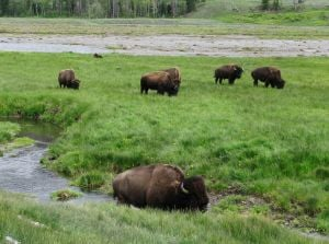 Yellowstone considers quarantine program for bison