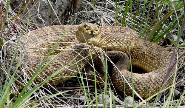 Montana Man Hospitalized After Rattlesnake Bite Montana
