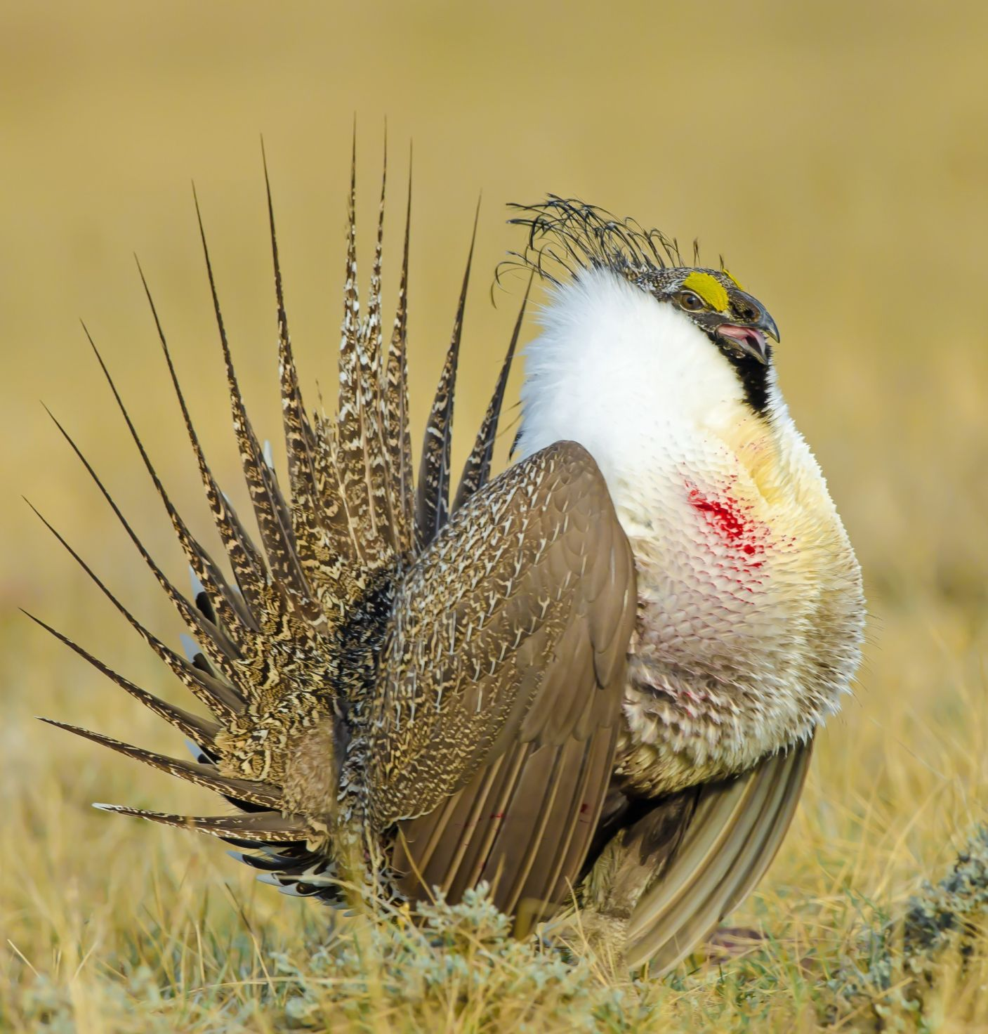 Greater Sage-Grouse | Audubon Field Guide