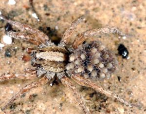 A look at Wyoming's biggest, most venomous and strangest spiders