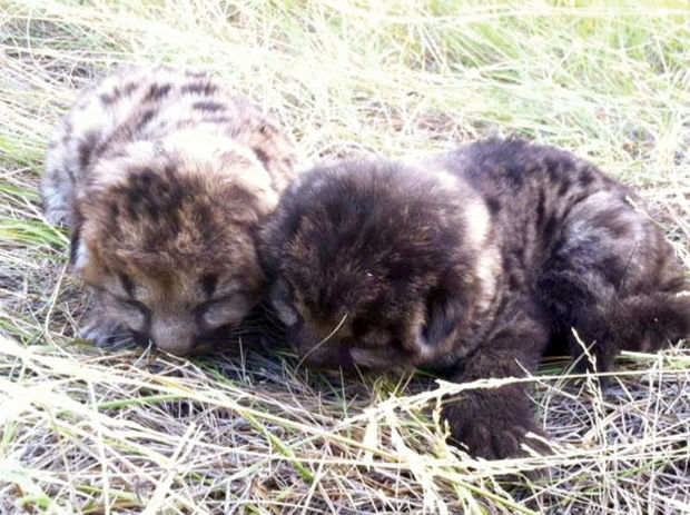 Firefighter recounts rescuing mountain lion cubs from blaze