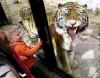 Siberian tiger at ZooMontana