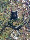 Hungry bears dying along Montana highways