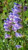 One-sided penstemon