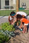 Volunteers weed tomatoes
