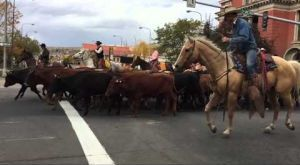 Slow motion video of cattle in downtown Billings cattle drive
