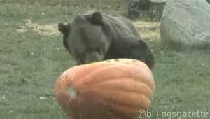 600-pound bear versus 300-pound pumpkin