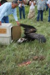 Rehabilitated golden eagle set free on reservation