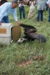 Rehabilitated golden eagle set free on reservation