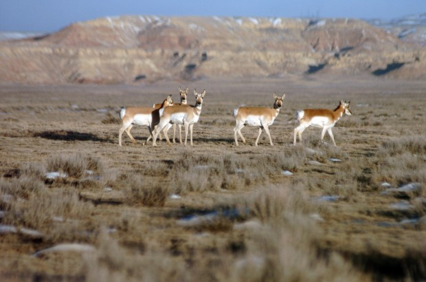 Wyoming game and fish investigates antelope deaths for Wyo game and fish