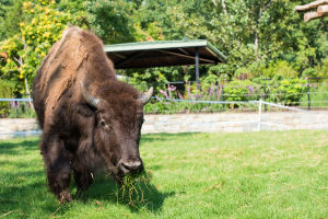 2 Montana bison in exhibit at National Zoo