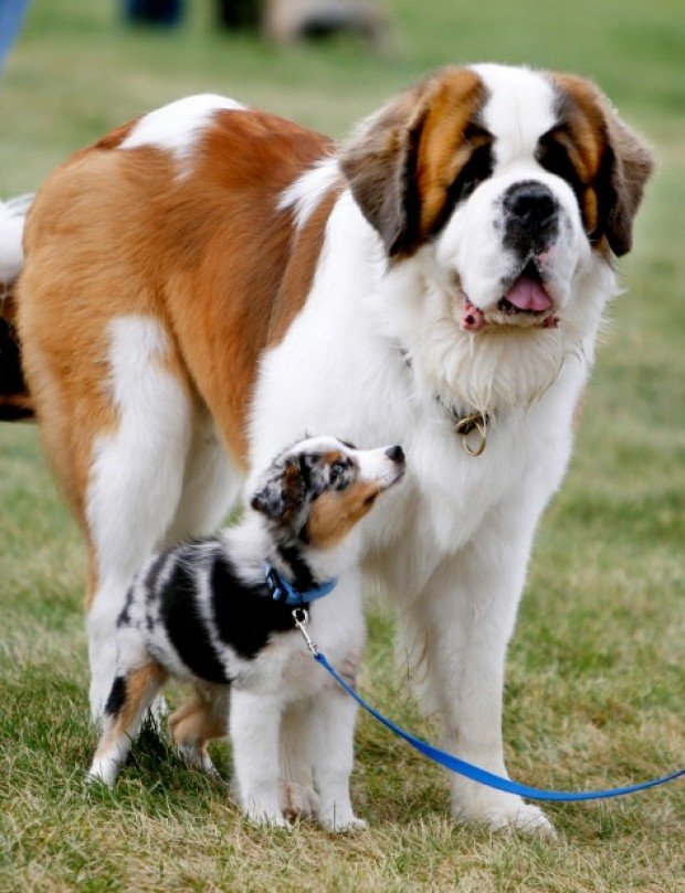 St Bernard Dogs For Sale Australia